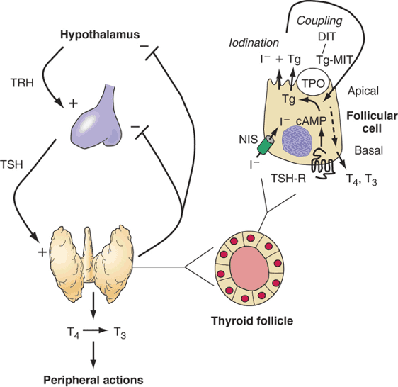 The Thyroid Hormones Innovation Compounding